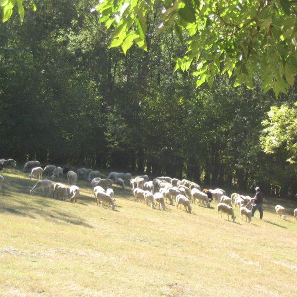 Berger du Biros et son troupeau de moutons